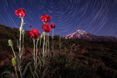 Damavand Poppies