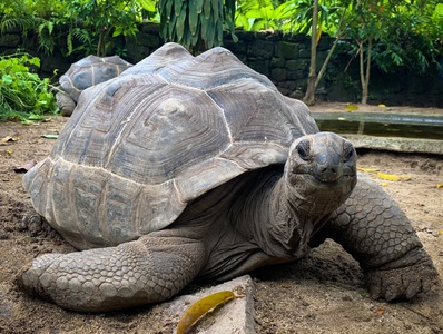 Giant Tortoises of the Seychelles